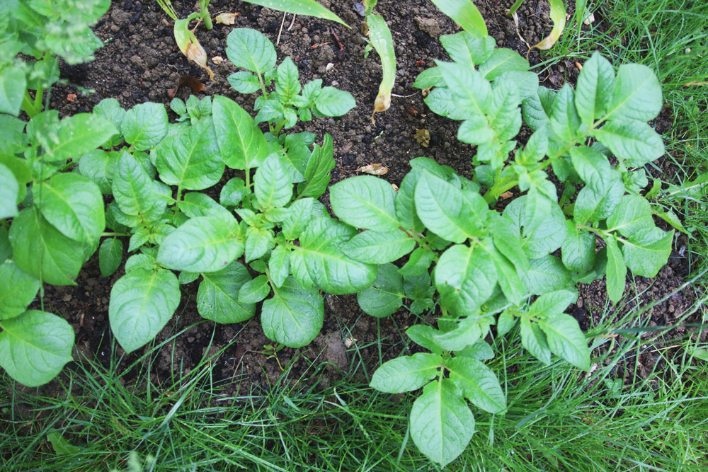 Vegetable Garden - Potatoes