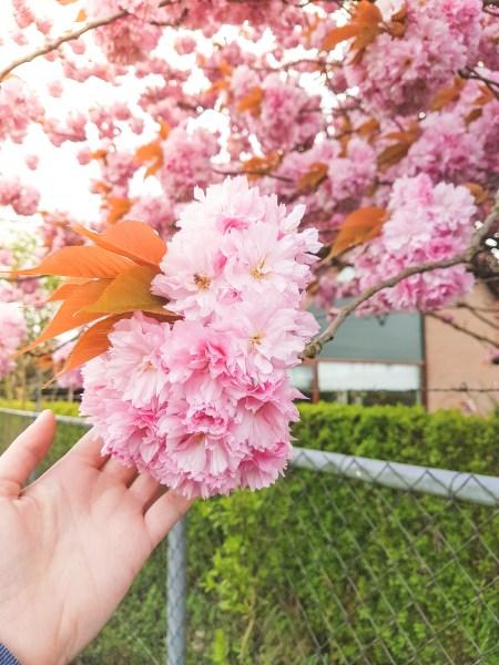 Cherry Blossom in Amsterdam