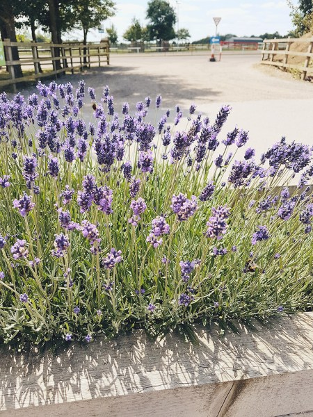 Lavender in the summer