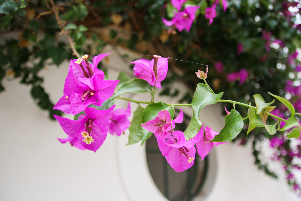 Bougainvillia flowers in Tavira, Portugal