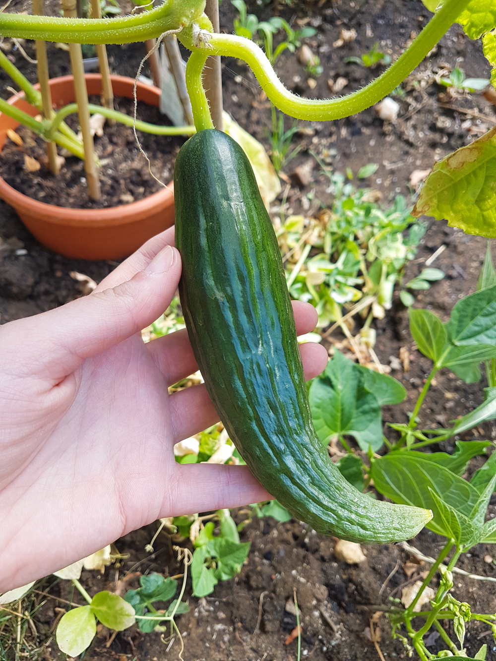 Vegetable Garden Cucumber