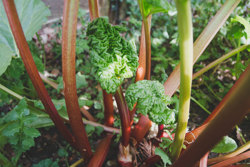 Grow Your Own - Rhubarb