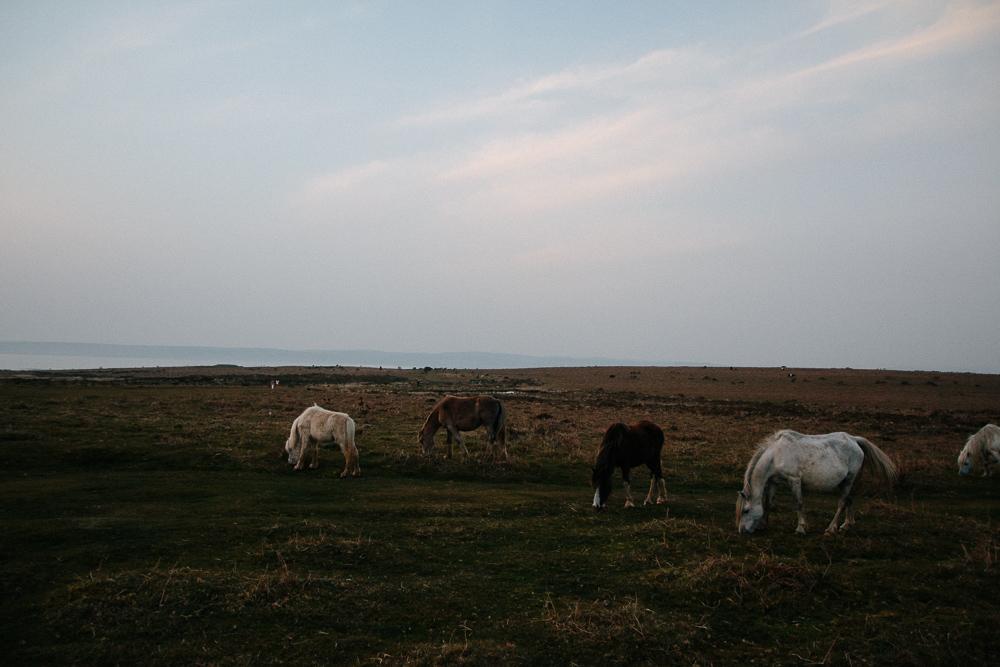 Wild Horses Near Port Eynon, Gower Peninsula