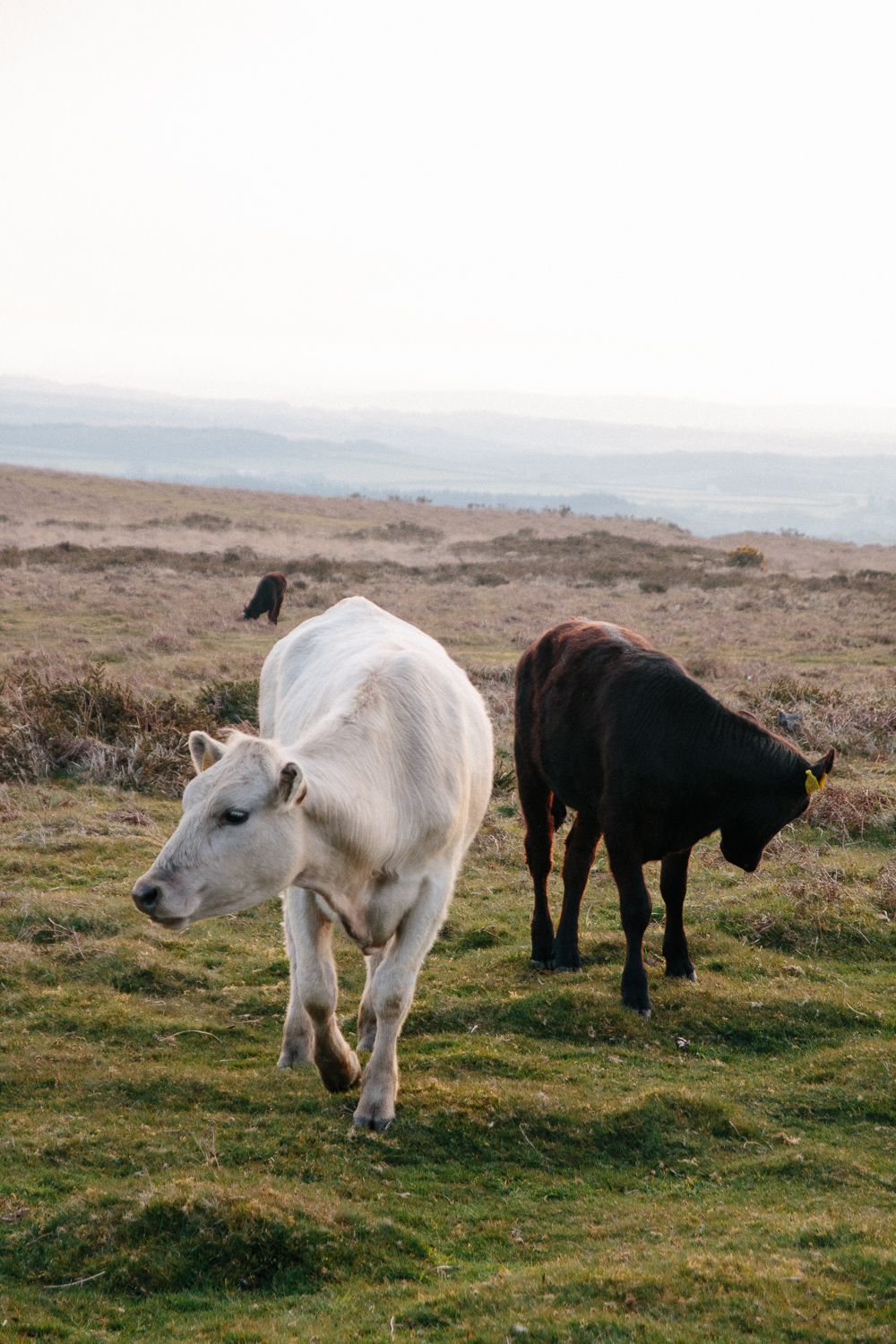 Wild Cows Near Port Eynon, Gower Peninsula