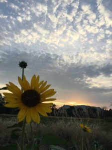 Sunflower-Bluff
