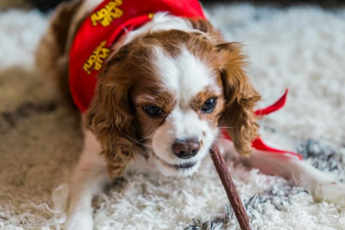 Pup peroni cavalier -9318