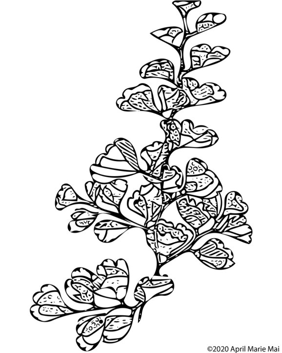 Adiantum Fern Coloring Page