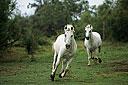 Horse running left, facing right