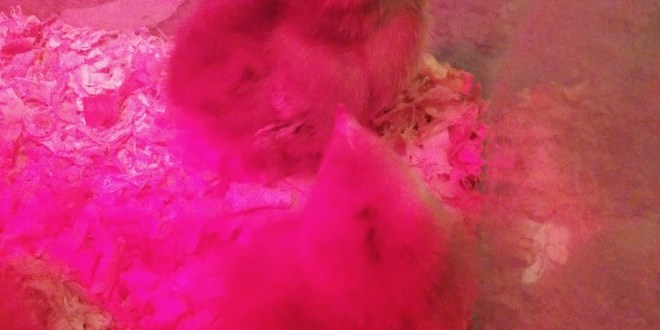What Not to Do When Raising Baby Chicks