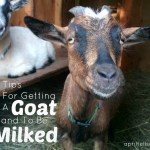 5 Tips For Getting A Goat To Stand To Be Milked