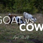 Goat vs. Cow