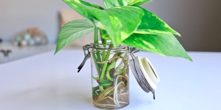 How to Build Up Your Plant Stash On a Budget   Pothos Propagation