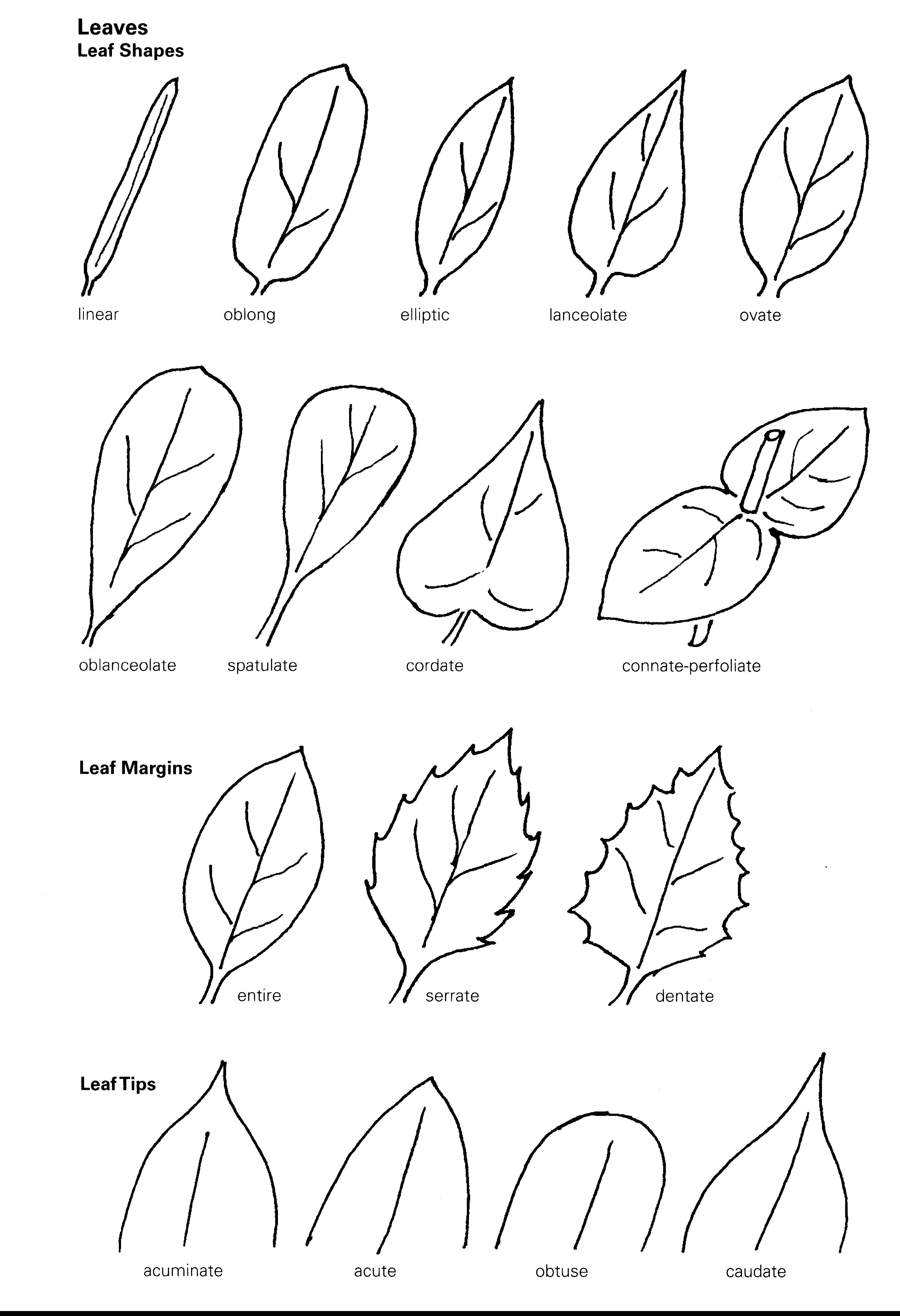 Obtuse Leaf
