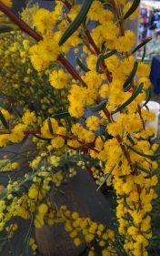 Acacia nitidula