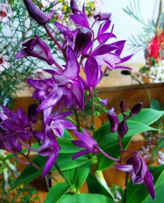 Dendrobium 'Joy Bells'