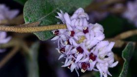 Lasiopetalum discolor (WA, SA, <1mx1m, small flowers)