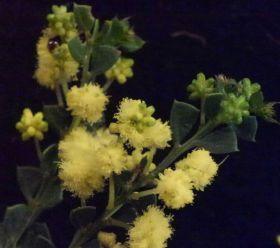 Acacia littorea (WA, triangular phyllodes, 2.5m)