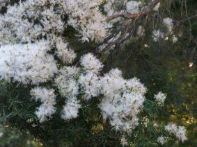 Melaleuca linariifolia (Snow in Summer)