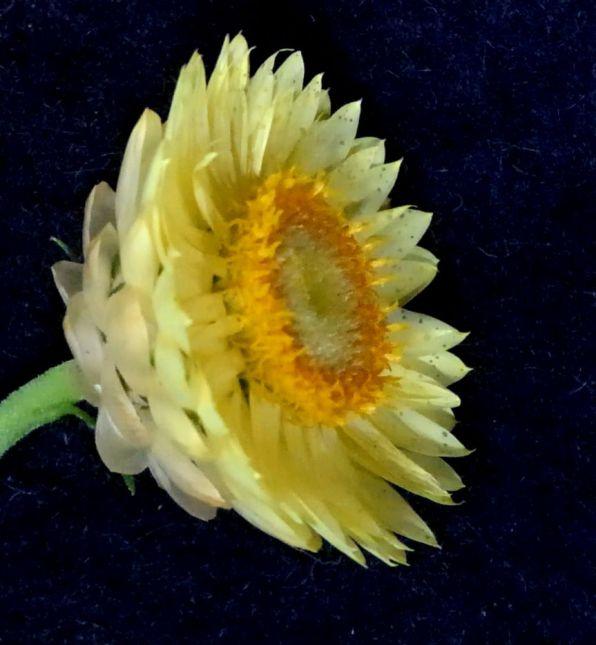 Xerochrysum bracteatum