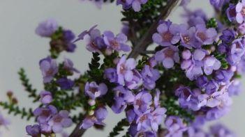 Thryptomene strongylophylla