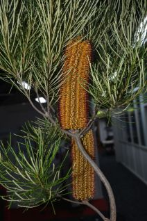 Banksia spinulosa 'Giant Candles' ?
