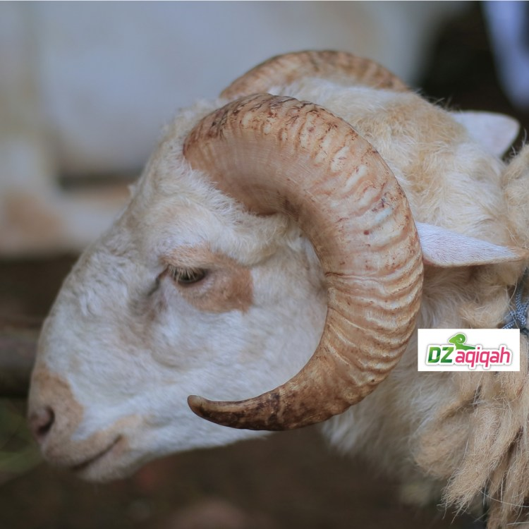 Jasa Penyedia Kambing dan Domba untuk Qurban di Purwakarta