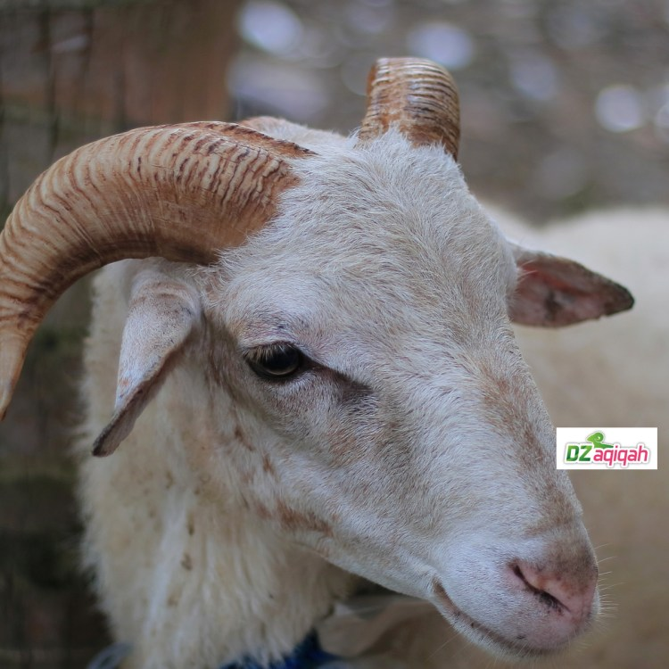 Harga Domba Kurban Di Purwakarta