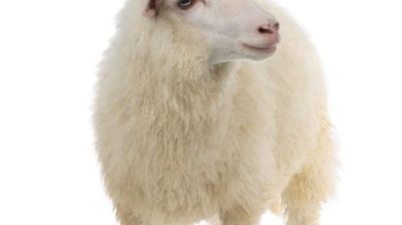 Penjual Domba dan Sapi Kurban Online di Purwakarta