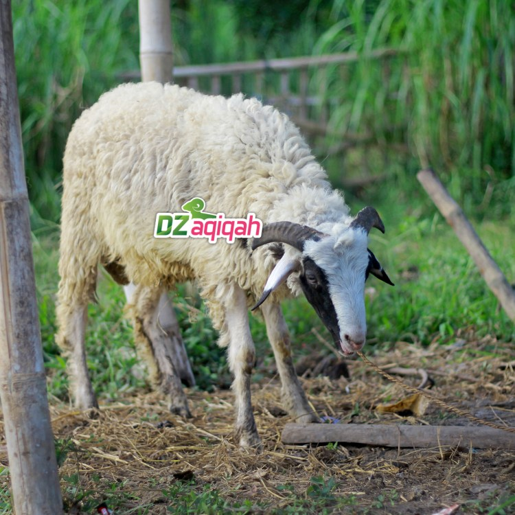 Daftar Harga Domba dan Sapi Kurban di Purwakarta