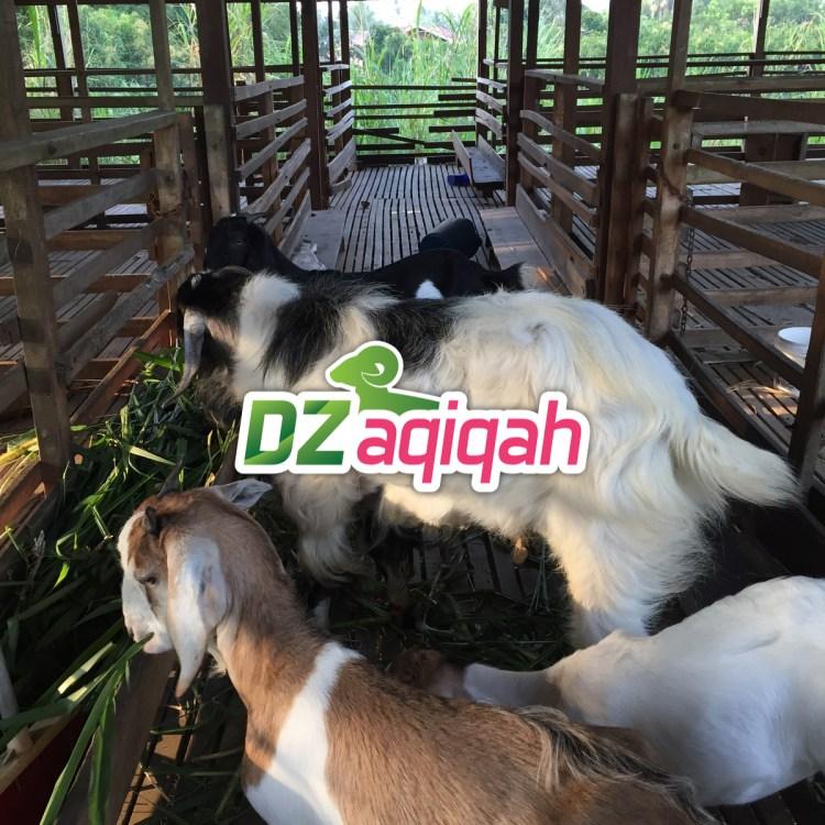 Harga hewan aqiqah di Aqiqah Purwakarta