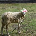 Dz Aqiqah Purwakarta, Penyedia Sapi dan Domba Kurban