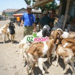 Kampung Domba Aqiqah di Purwakarta