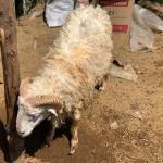 Penyedia Domba Dan Kambing Aqiqah Terbaik Di Purwakarta