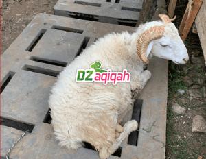 Daftar Paket Hewan Qurban Domba di Purwakarta