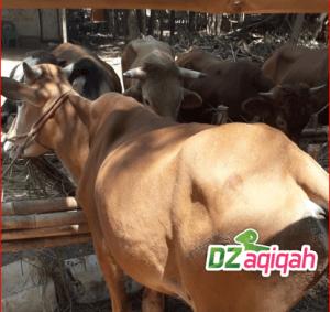 Berikut ini adalah paket Harga hewan qurban di Purwakarta