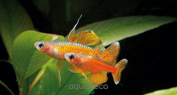алый неон рыбка для нано аквариума