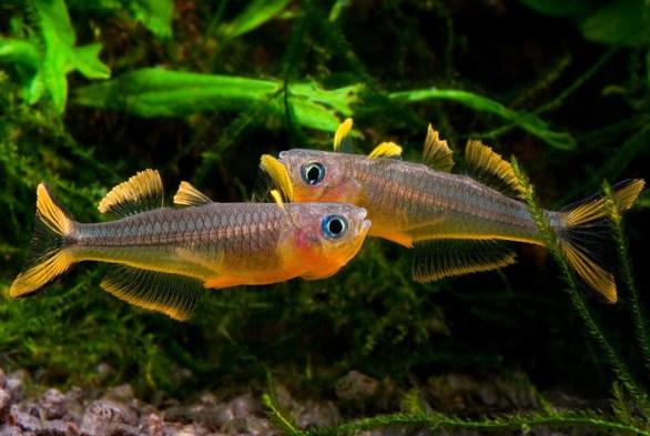Попондетта фуркатта рыбка для наноаквариума