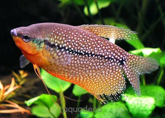 Нано-аквариумы: кратко о кубиках Trichogaster leeri 6 AquaDeco Shop