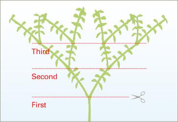 Схема подрезки аквариумных растений - советы Амано