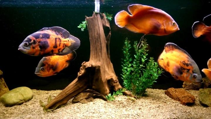 Топ 10 крупных аквариумных рыбок