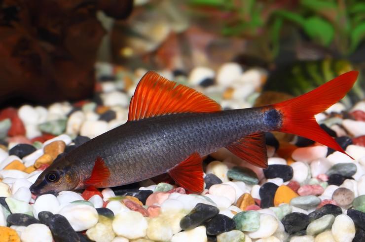 Аквариумные рыбки водорослееды - ТОП 8