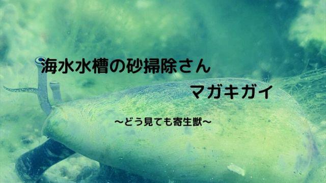 マガキガイ 飼育