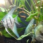 Pearlscale angelfish