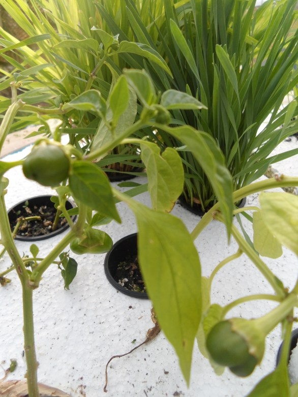Aquaponic produce growing healthy in the temporary system set up