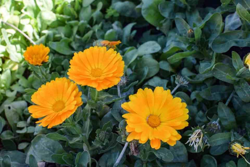 easay to grow flowers calundula