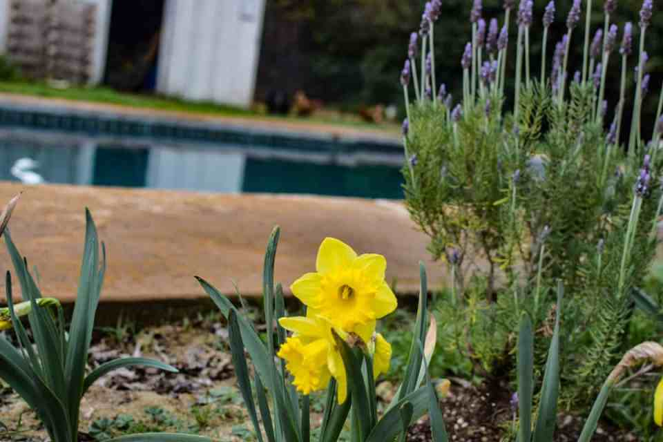 easy to grow flowers dafodils