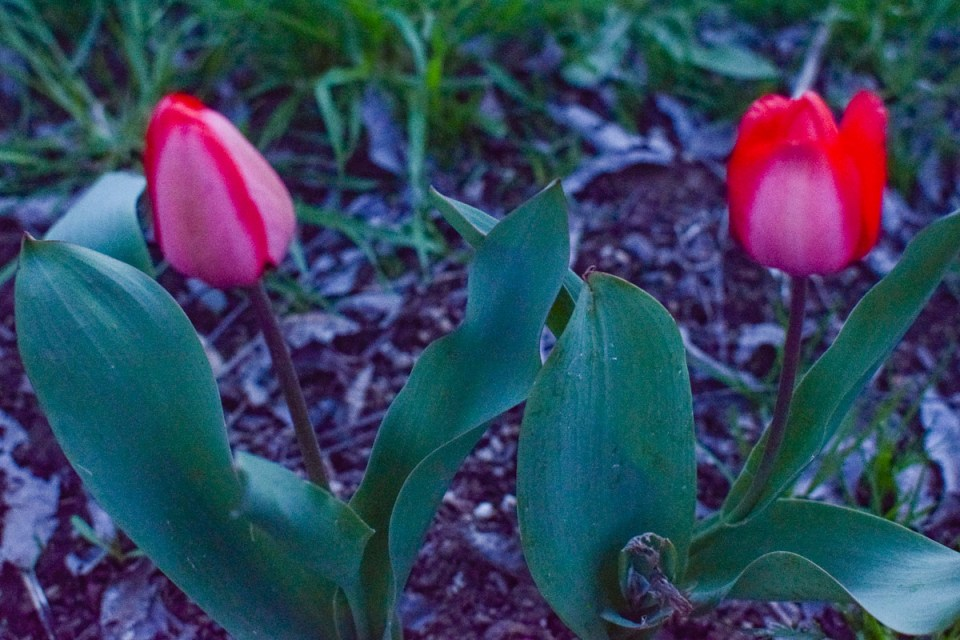 tulips popping out of the simple farmhouse garden