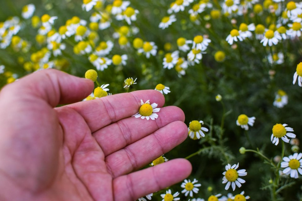chamomile flowers for hot and cold brew tea