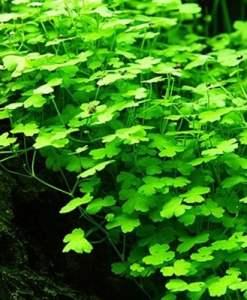 Hydrocotyle Tripartita sp Japan