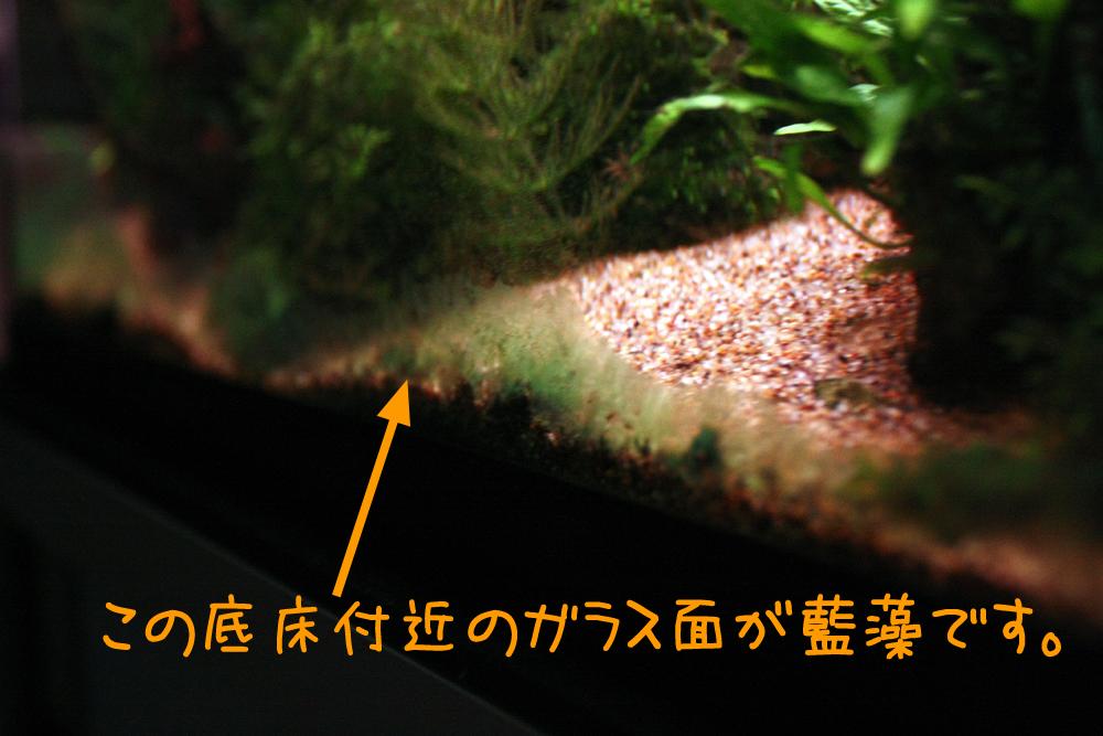 「藍藻 画像」の画像検索結果